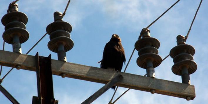 falco pelegri borges